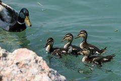 Familia de patos fotos de archivo