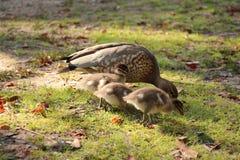 Familia de patos Imagen de archivo