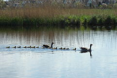Familia de patos en el lago Imagenes de archivo