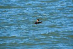 Familia de patos en el lago Ivars y Vilasana, L?rida fotografía de archivo libre de regalías