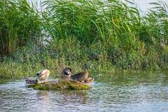 Familia de patos en reserva de naturaleza, el lavado, el vuelo y la natación fotos de archivo