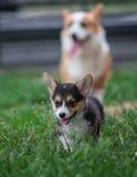 Familia de perro del Corgi Galés que juega en parque en hierba verde Pembroke Corgi Puppy Having Fun al aire libre Fotos de archivo libres de regalías