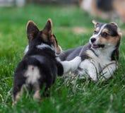 Familia de perro del Corgi Galés que juega en parque en hierba verde Pembroke Corgi Puppy Having Fun al aire libre Imágenes de archivo libres de regalías
