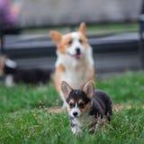 Familia de perro del Corgi Galés que juega en parque en hierba verde Pembroke Corgi Puppy Having Fun al aire libre Foto de archivo