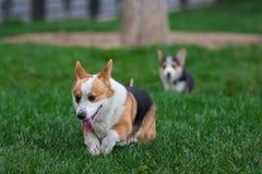Familia de perro del Corgi Galés que juega en parque en hierba verde Pembroke Corgi Puppy Having Fun al aire libre Fotografía de archivo libre de regalías