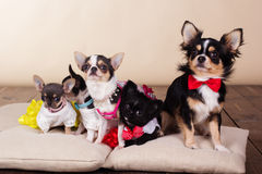 Familia de perros de la chihuahua en las almohadas Fotografía de archivo libre de regalías