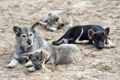 Familia de perros perdidos Fotografía de archivo