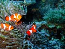 Familia de pescados tropical del payaso Fotos de archivo