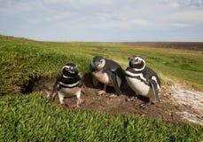 Familia de pingüinos de Magellanic que hacen una pausa una madriguera fotos de archivo libres de regalías