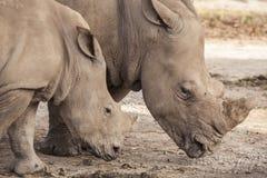 Familia de rinoceronte Imágenes de archivo libres de regalías