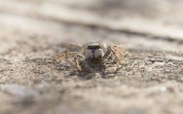 Familia de salto de la especie de Salticidae de la araña de par en par fotografía de archivo libre de regalías
