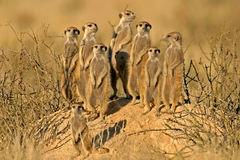 Familia de Suricate (meerkat)   Fotografía de archivo