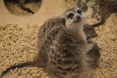 Familia de Suricate (meerkat) Foto de archivo