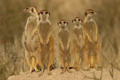 Familia de Suricate (meerkat)   Imagenes de archivo