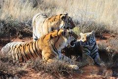 Familia de tigres Fotografía de archivo
