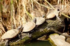 Familia de tortugas de la tortuga acuática en su hábitat natural Fotografía de archivo