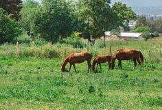 Familia de tres caballos Imagen de archivo libre de regalías
