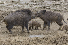 Familia de Wildhog Foto de archivo