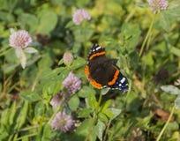 Familia del atalanta de almirante Vanessa de la mariposa de sentada del Nymphalidae Imagenes de archivo