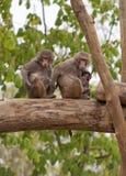 Familia del babuino Imágenes de archivo libres de regalías