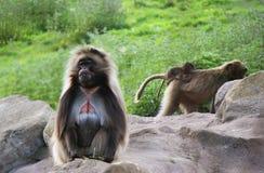 Familia del babuino de Gelada Imagen de archivo libre de regalías