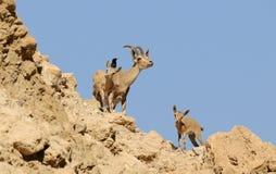 Familia del cabra montés Foto de archivo libre de regalías