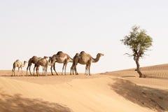 Familia del camello Imagen de archivo