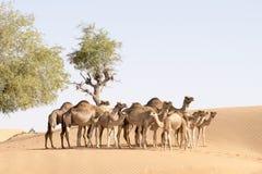 Familia del camello Fotografía de archivo