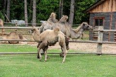 Familia del camello Foto de archivo