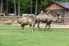 Familia del camello Foto de archivo libre de regalías