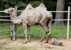 Familia del camello, camello recién nacido Foto de archivo