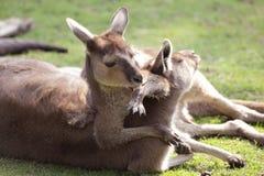 Familia del canguro Imagen de archivo libre de regalías