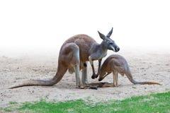 Familia del canguro Imágenes de archivo libres de regalías