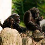 Familia del chimpancé Imágenes de archivo libres de regalías