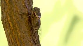 Familia del Cicadidae del insecto de cigarras Insecto de Cicadoidea Artrópodos Tracheata Hexapoda Insecta Insecta del Animalia de almacen de video