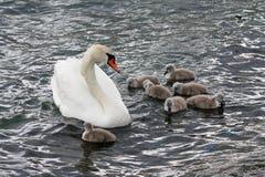 Familia del cisne imagen de archivo libre de regalías