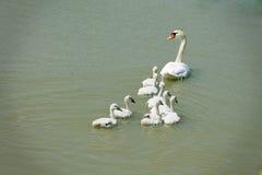 Familia del cisne Fotografía de archivo