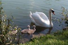 Familia del cisne Foto de archivo libre de regalías