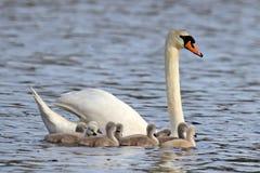 Familia del cisne Fotografía de archivo libre de regalías
