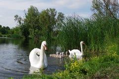 Familia del cisne Imágenes de archivo libres de regalías