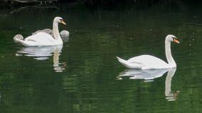 Familia del cisne Fotos de archivo
