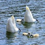 Familia del cisne al revés Fotografía de archivo