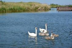 Familia del cisne con los pájaros de bebé en una laguna del mar Báltico Ámbar del acuerdo, región de Kaliningrado Fotografía de archivo