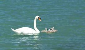 Familia del cisne en el lago Balatón Fotografía de archivo