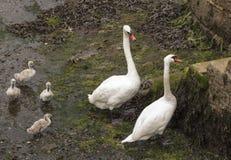 Familia del cisne en el puerto de Falmouth en Cornualles Fotografía de archivo libre de regalías