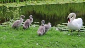 Familia del cisne en la orilla del río que se atusa - cámara lenta de la cantidad almacen de video