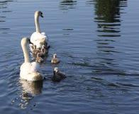 Familia del cisne en la primera excursión Fotografía de archivo libre de regalías