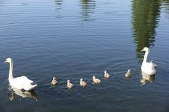 Familia del cisne mudo Fotografía de archivo libre de regalías
