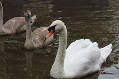 Familia del cisne mudo, Cygnus Olor Fotos de archivo libres de regalías