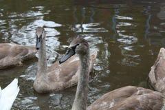 Familia del cisne mudo, Cygnus Olor Imágenes de archivo libres de regalías